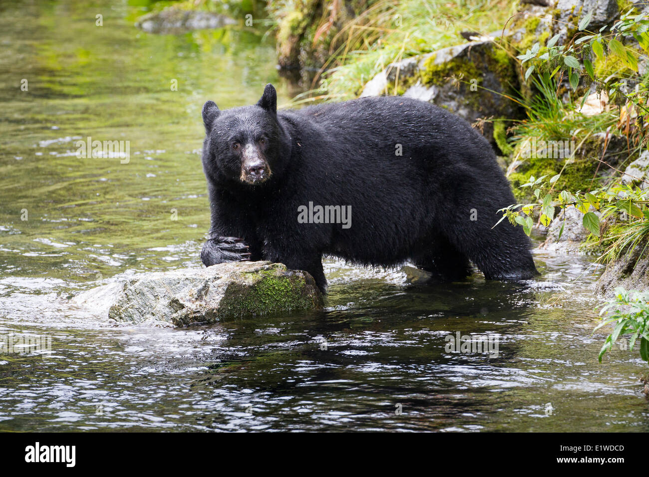 Black Bear Fishing Stock Photos Amp Black Bear Fishing Stock Images