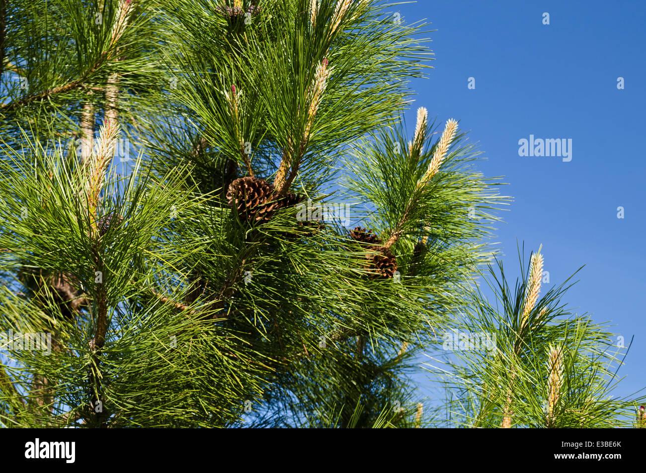 Ponderosa Pine Tree Branch Wwwpixsharkcom Images