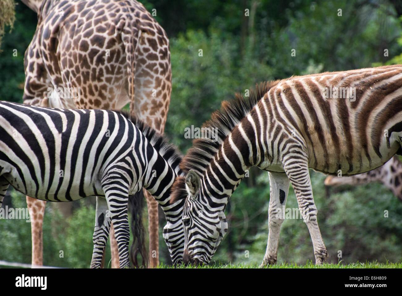 Grant S Zebra Zoo Stock Photos Amp Grant S Zebra Zoo Stock