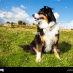 Tri Colour Border Collie High Resolution Stock Photography And Images Alamy