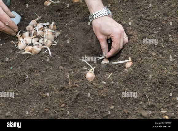 Planting Saffron (Crocus sativus) corms. UK Stock Photo - Alamy