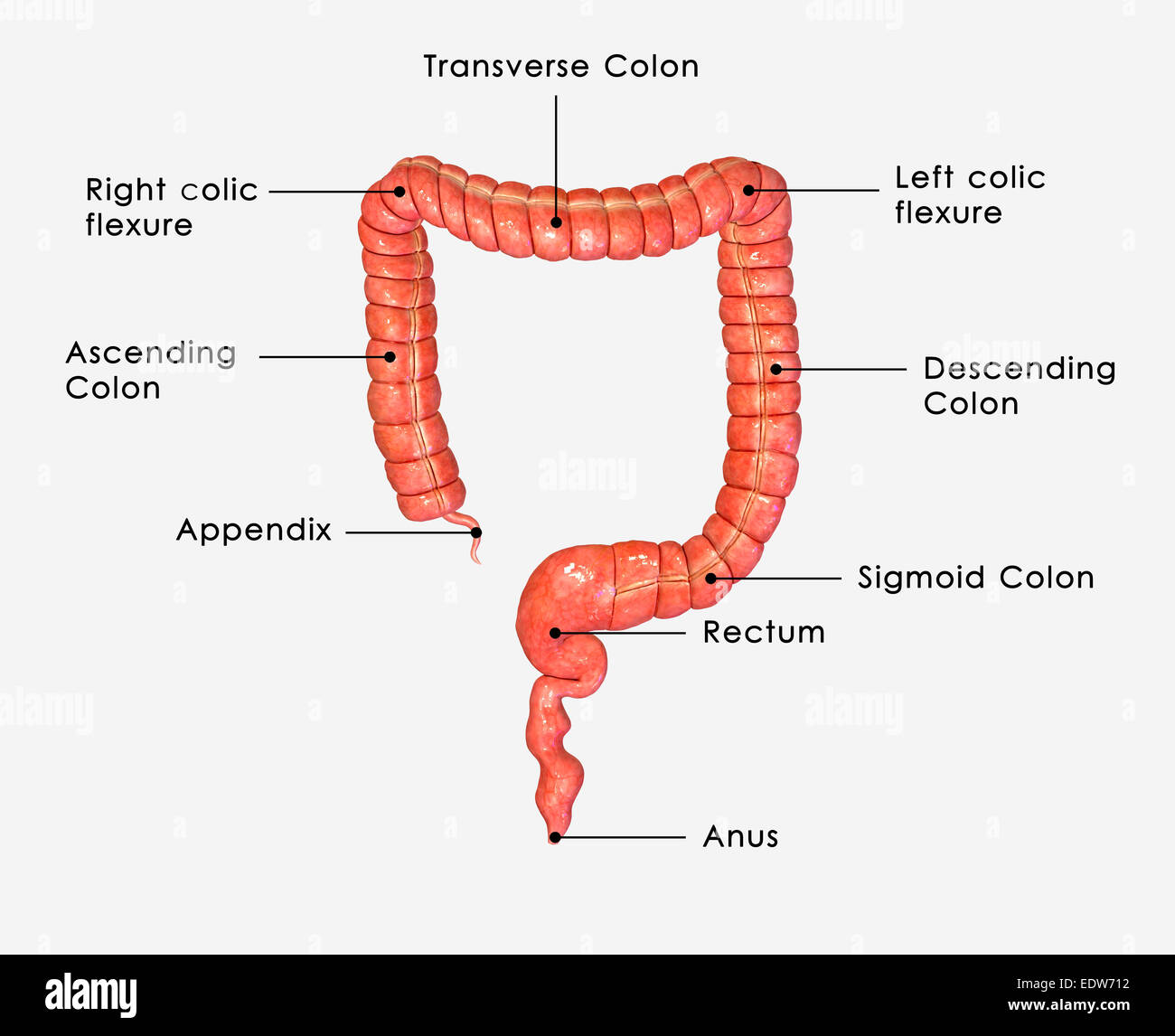 Human Bowel Stock Photos Amp Human Bowel Stock Images