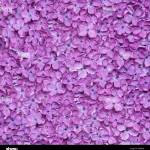 Lilac Background Or Beautiful Violet Flower Texture Stock Photo Alamy