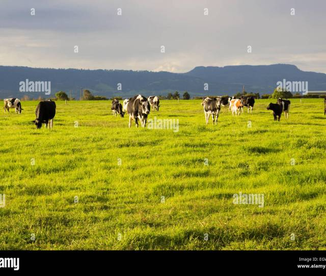 Cattle Grazing In The Open Meadows In Australia Stock Image