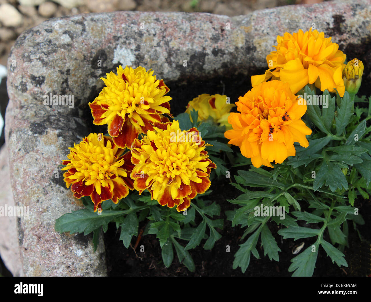 French Marigolds Stock Photos   French Marigolds Stock Images   Alamy England Dorset Garden Flowers French Marigolds in a terrace pot Peter Baker    Stock Image