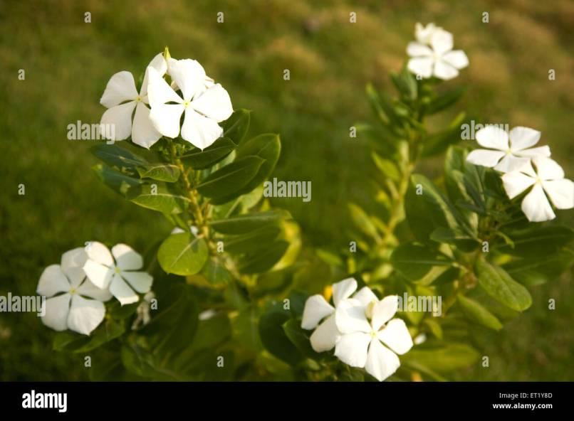 Images of white flowers with names imaganationface white flower common name creeping phlox botanical mightylinksfo