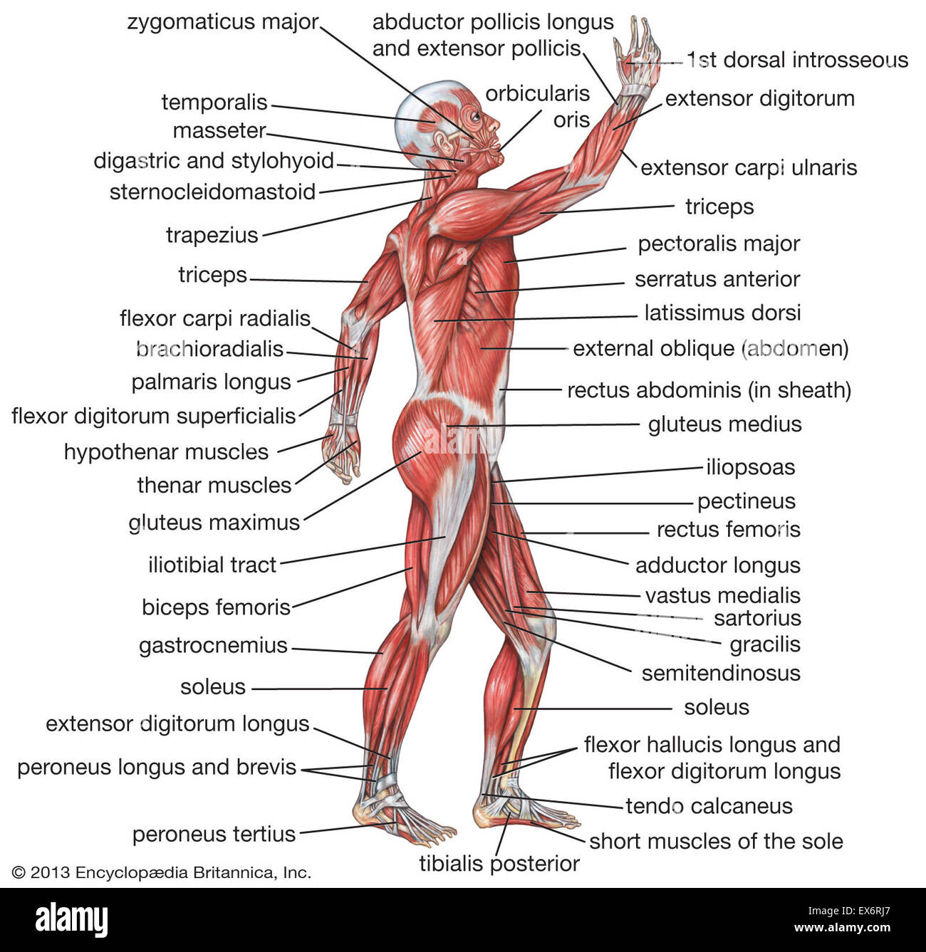Lateral View Of The Human Muscular System Stock Photo