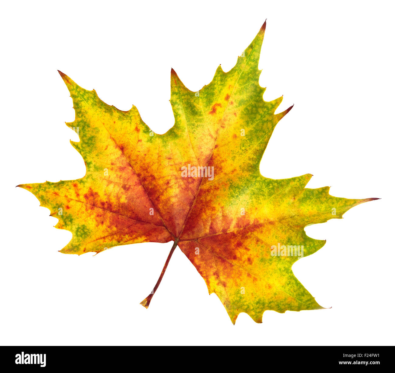 Nice Colorful Maple Leaf In Red Yellow And Green Symbol
