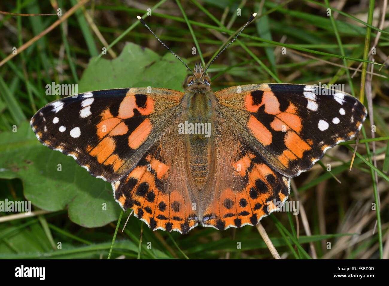 Painted Lady Butterfly Uk Orange Stock Photos Amp Painted