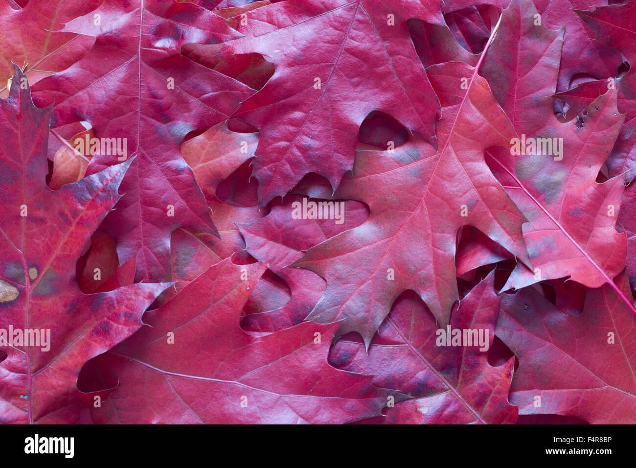 Deep Red Leaves Red Oak Stock Photos Deep Red Leaves Red Oak