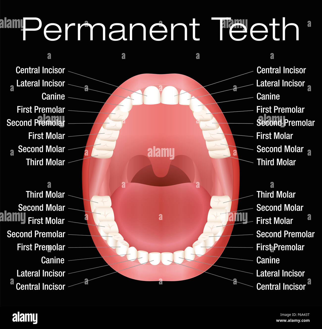 Adult Teeth With Names Illustration On Black Background