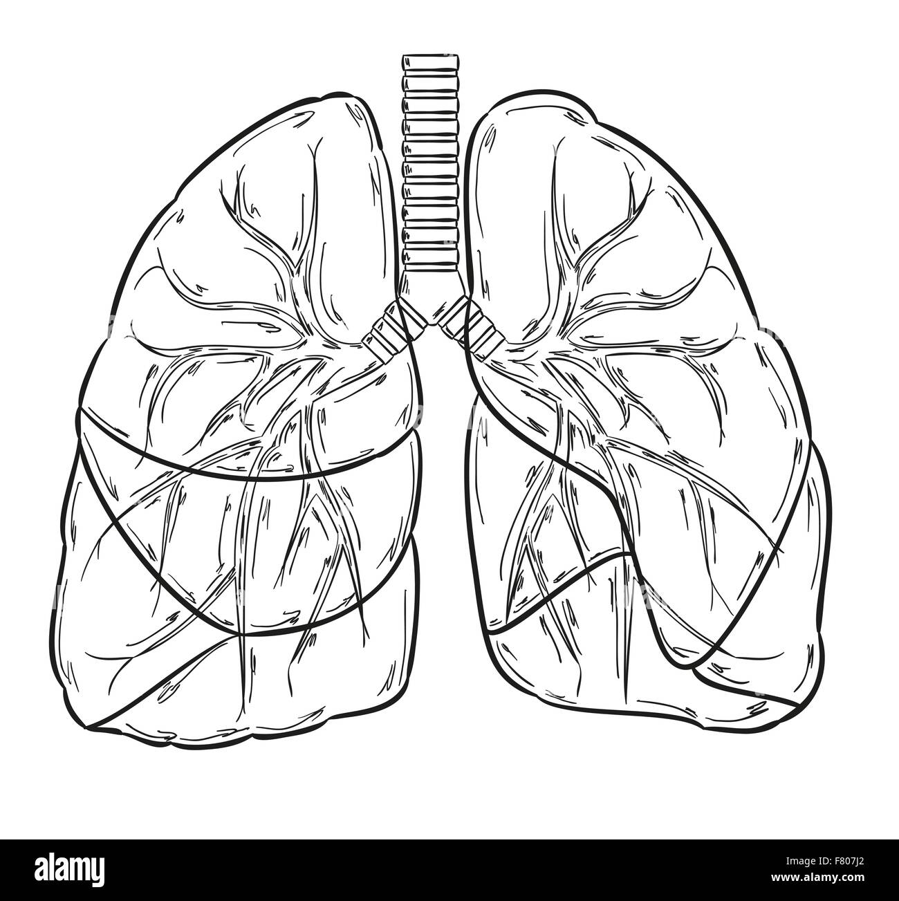 Respiratory System Cut Out Stock Images Amp Pictures