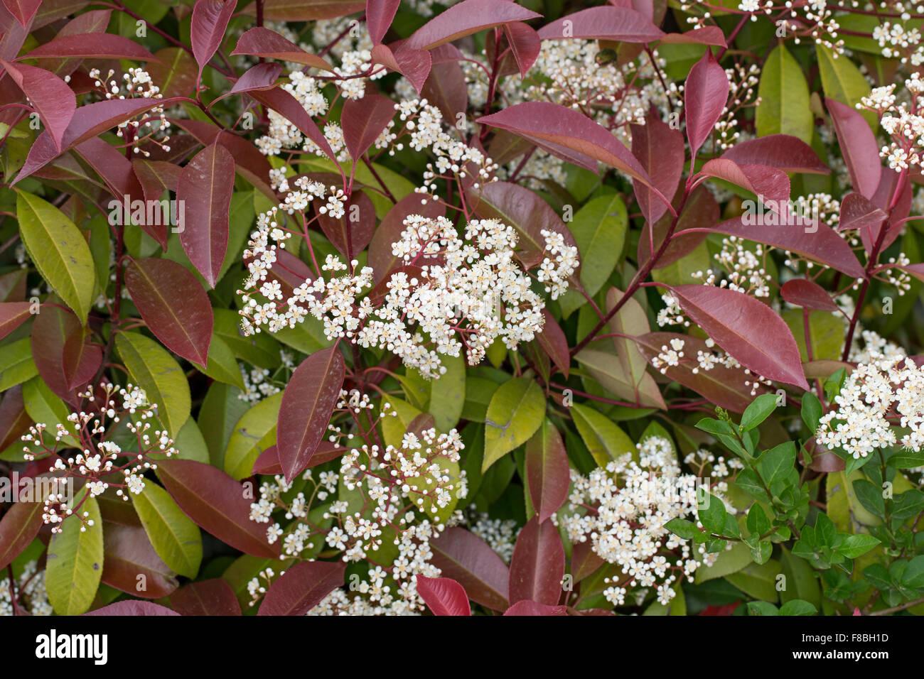 Photinia X Fraseri Stock Photos Photinia X Fraseri Stock Images
