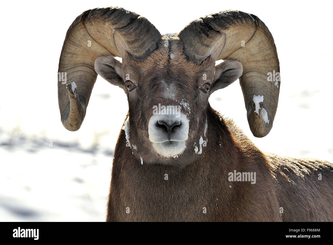 A Front View Portrait Of A Mature Rocky Mountain Bighorn