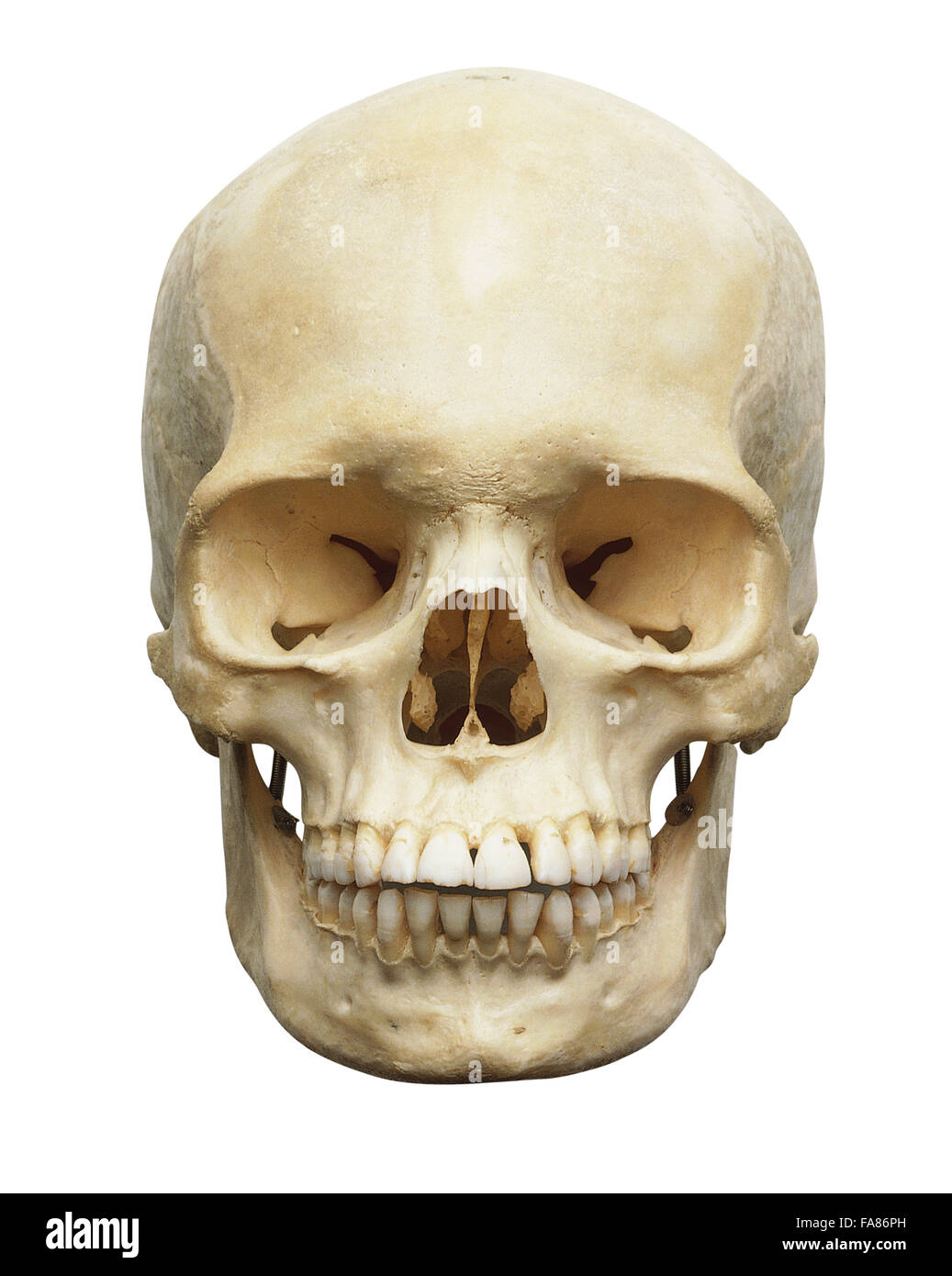 Human Skull Front View Stock Photo