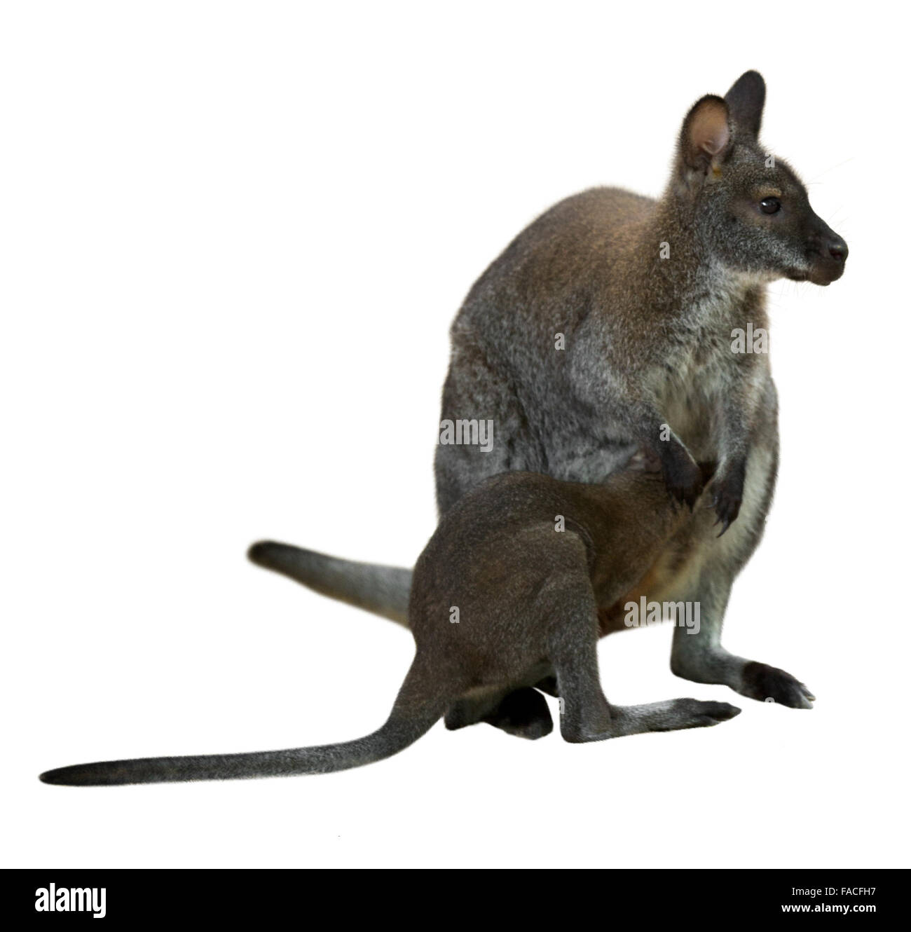 Wallaby Cut Out Stock Images Amp Pictures