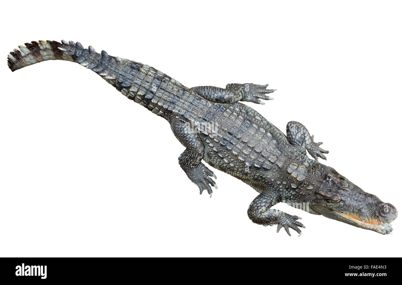 Crocodile Cut Out Stock Images Amp Pictures