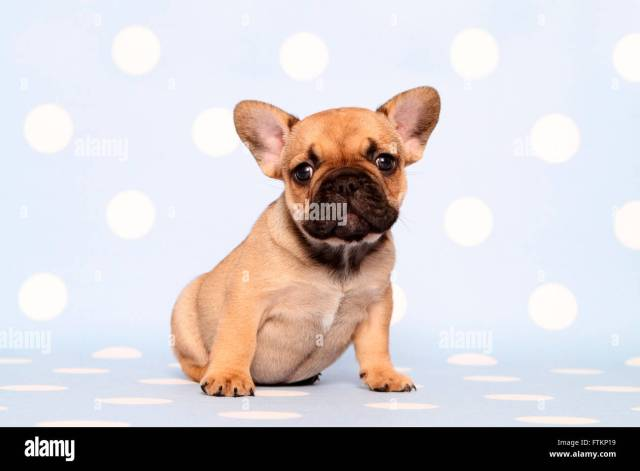 french bulldog. puppy (6 weeks old) sitting. studio picture