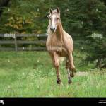 Palomino Pony High Resolution Stock Photography And Images Alamy