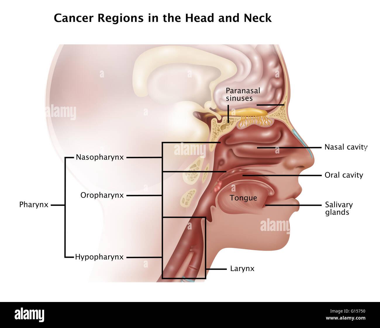Your Glands In Neck Diagram