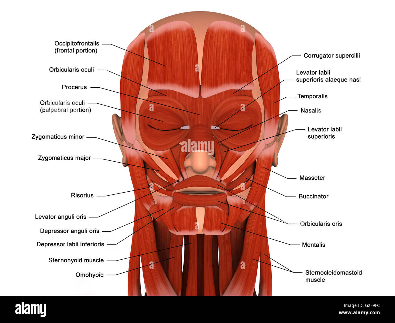 Facial Muscles Of The Human Head With Labels Stock Photo Royalty Free Image