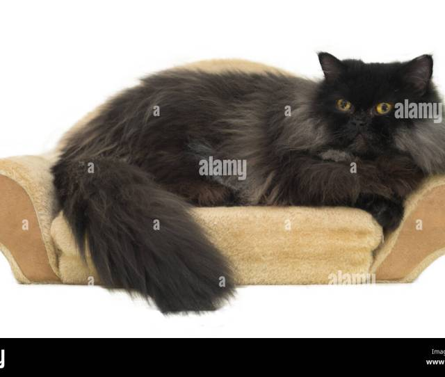 Black Persian Cat Isolated On White