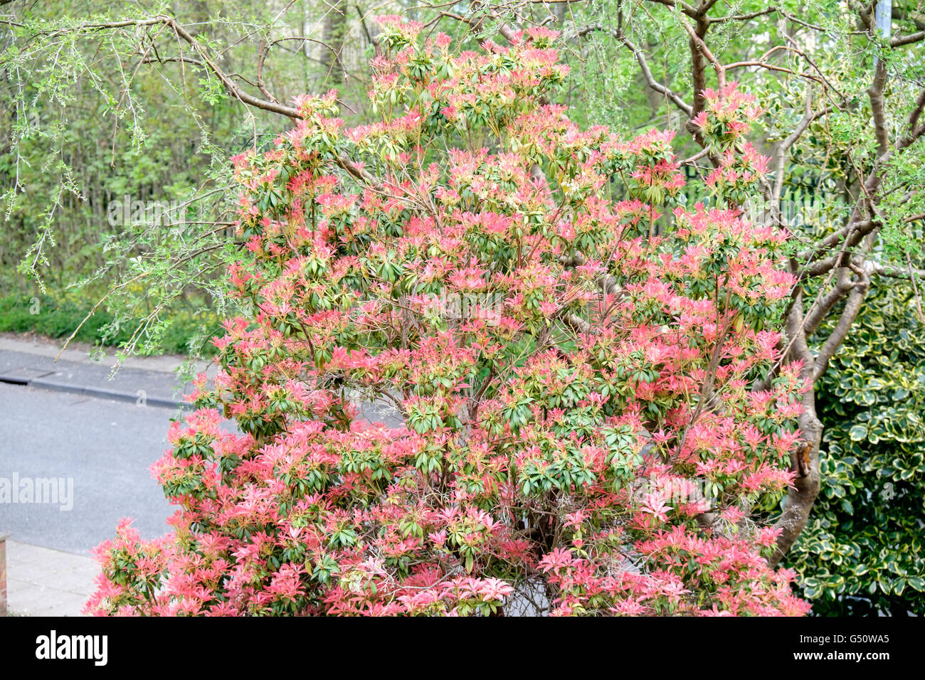 Pieris Red Leaves Stock Photos Pieris Red Leaves Stock Images