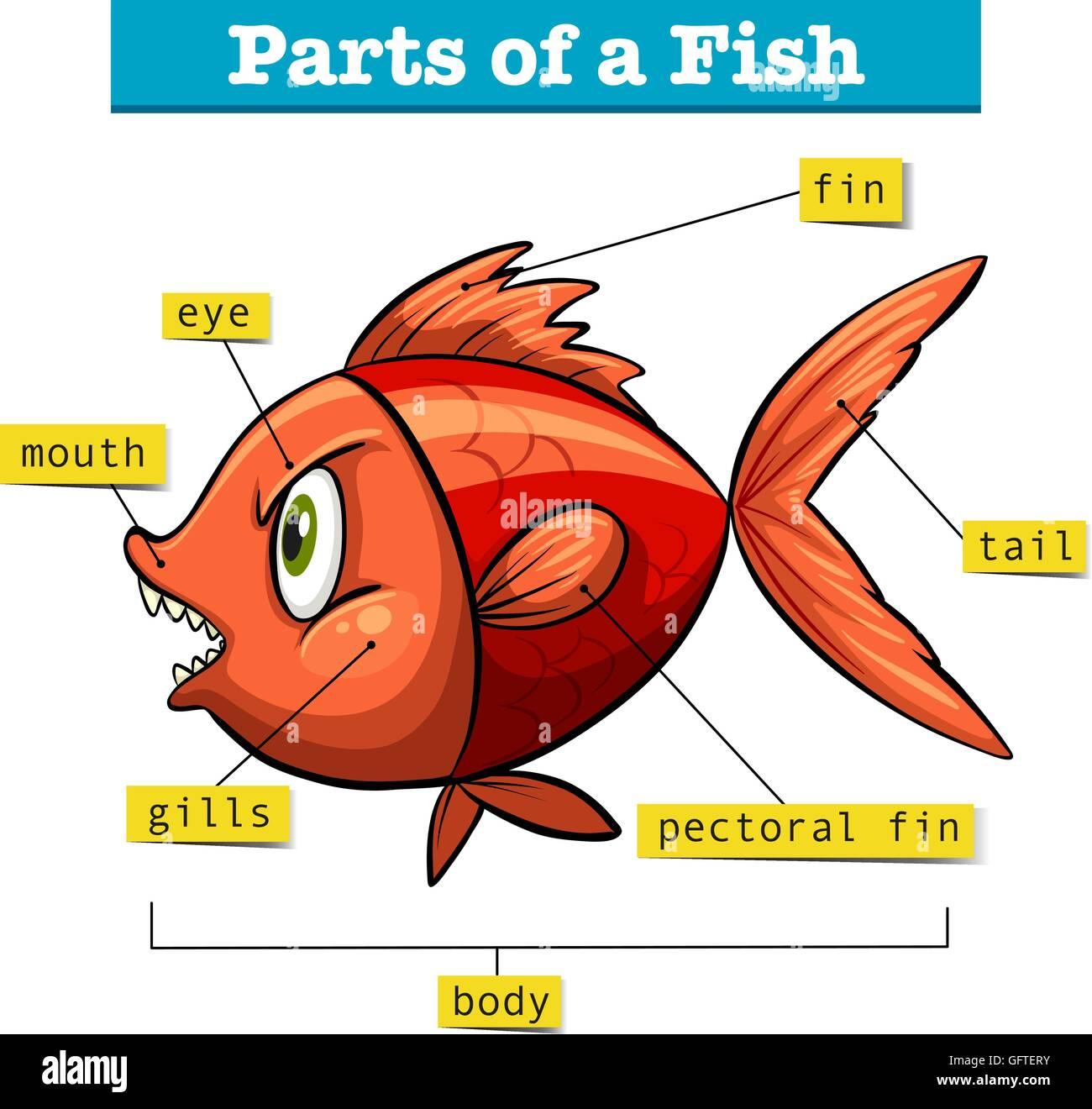 Diagram Showing Parts Of Fish Illustration Stock Vector Art Amp Illustration Vector Image