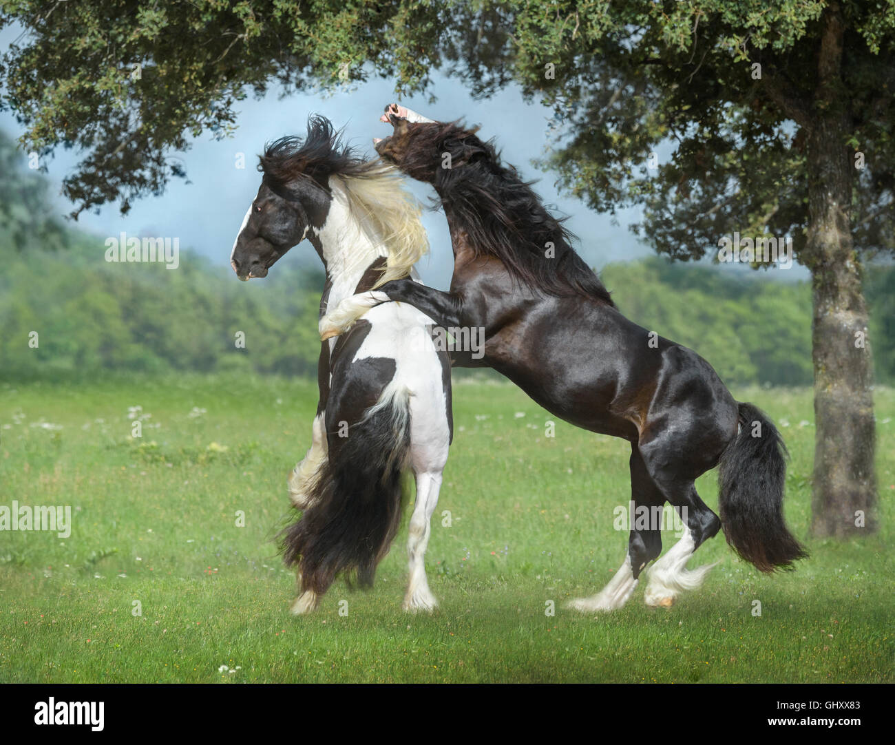 4 Year Old Gypsy Vanner Horse Stallions Roughouse And Play