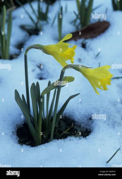 Garden  narcissus  blossom  snow leftovers  plant  flowers  snow     Garden  narcissus  blossom  snow leftovers  plant  flowers  snow  blossoms   yellow  narcissus blossoms  daffodils  spring awakening  spring flowers