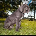 Grey Great Dane Puppy On A Leash Sitting On The Grass Stock Photo Alamy