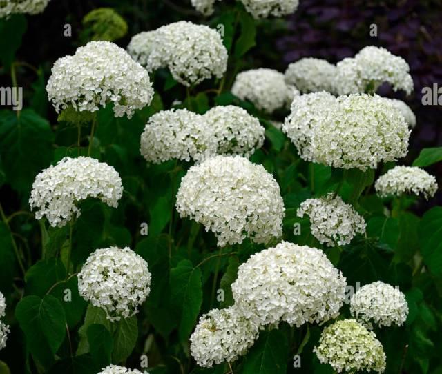 Hydrangea Annabelle White Flower Flowers Flowering Spike Spire Floret Florets Deciduous Shrub Shrubs Floriferous Stock