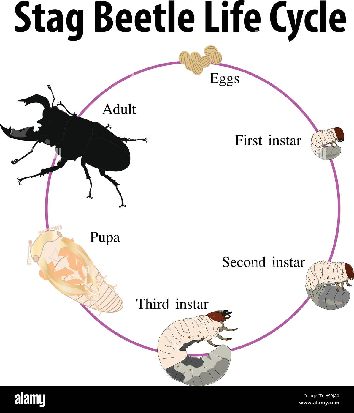 Vector Illustration Of Stag Beetle Life Cycle Stock Vector