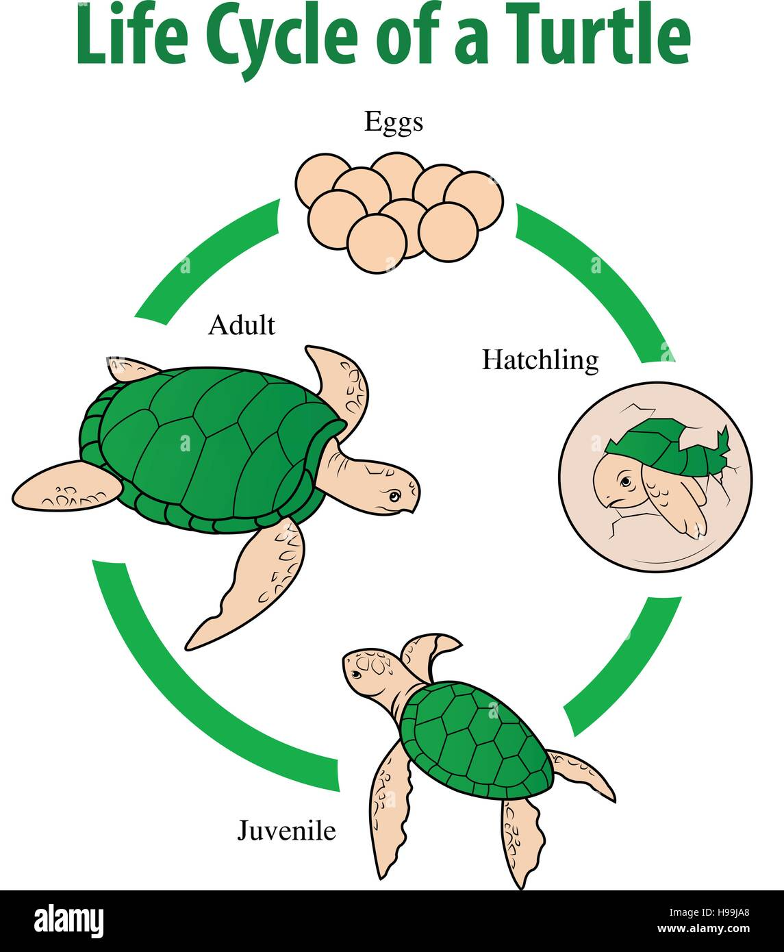 Vector Illustration Of Turtle Life Cycle Stock Vector Art Amp Illustration Vector Image