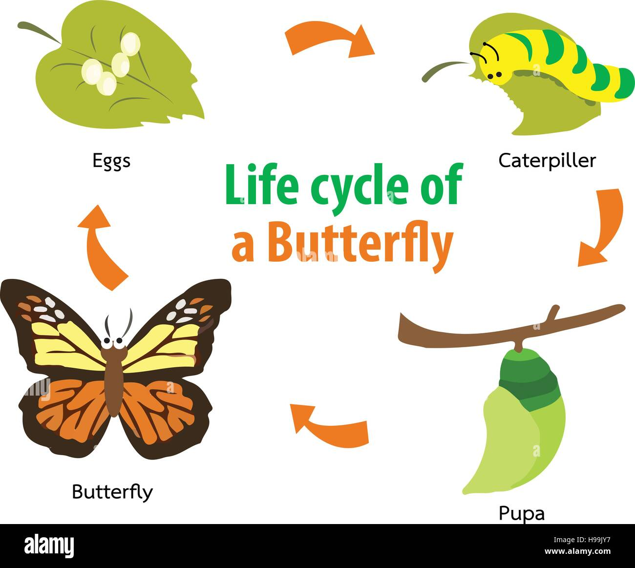 Vector Illustration Of Butterfly Life Cycle Stock Vector