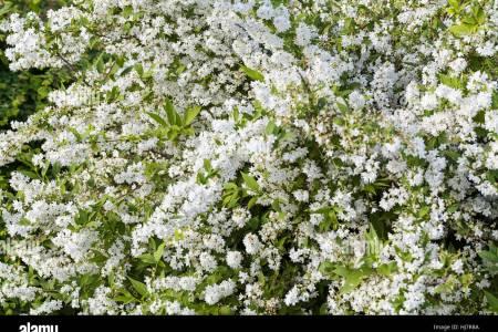 Flowers near me white flowering bush flowers near me flowers near me white flowering bush mightylinksfo