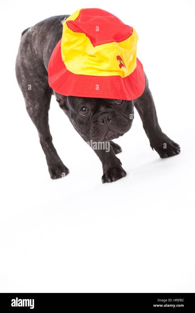 franzoesische bulldogge mit spanischer muetze - french bulldog with