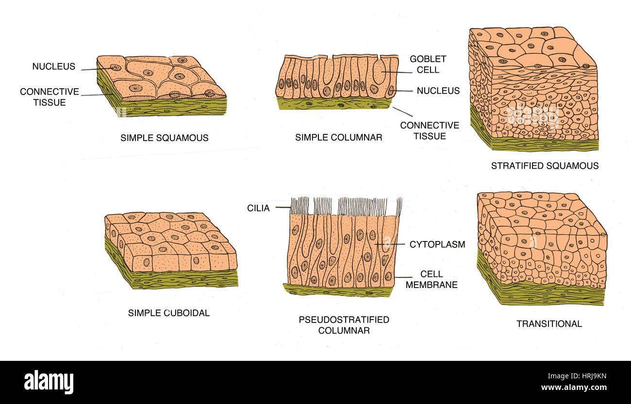 Epithelial Tissue Stock Photos Amp Epithelial Tissue Stock