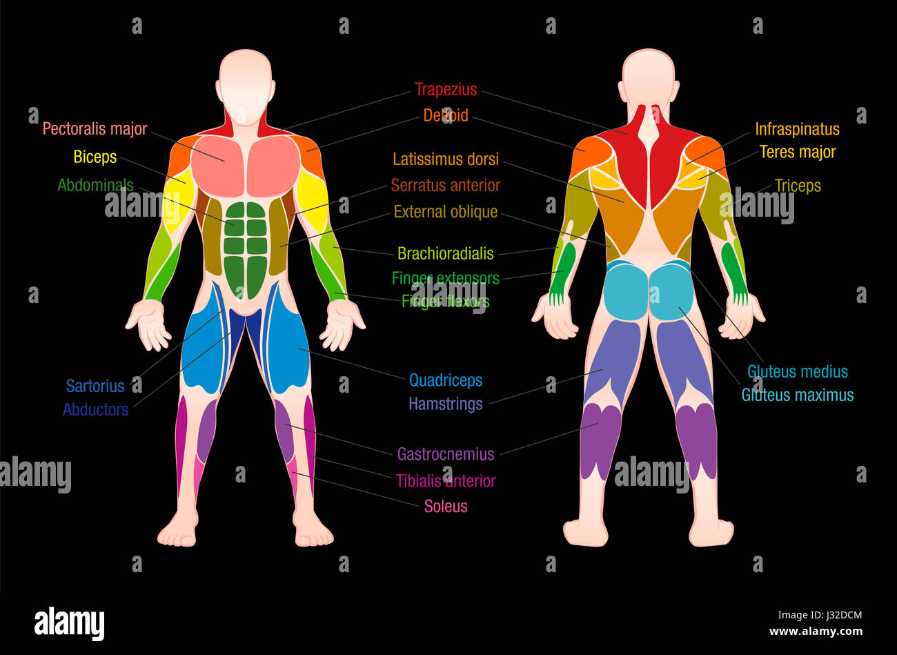 Muscle Chart With Most Important Muscles Of The Human Body