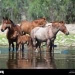 Salt River Wild Horses In Arizona Stock Photo Alamy