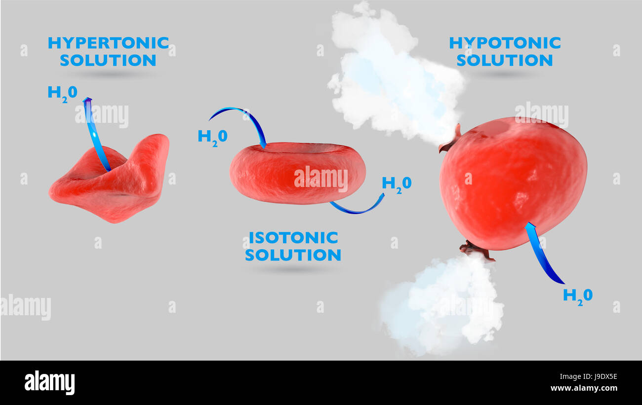 Cell Osmosis Cell In Isotonic Solution Cell In