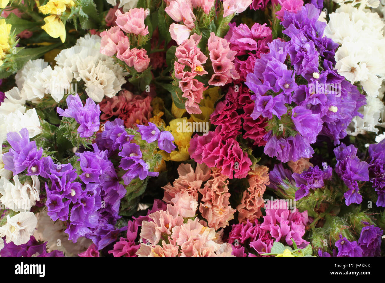 Pink  purple  yellow  white Statice flowers   Limonium Background     Pink  purple  yellow  white Statice flowers   Limonium Background