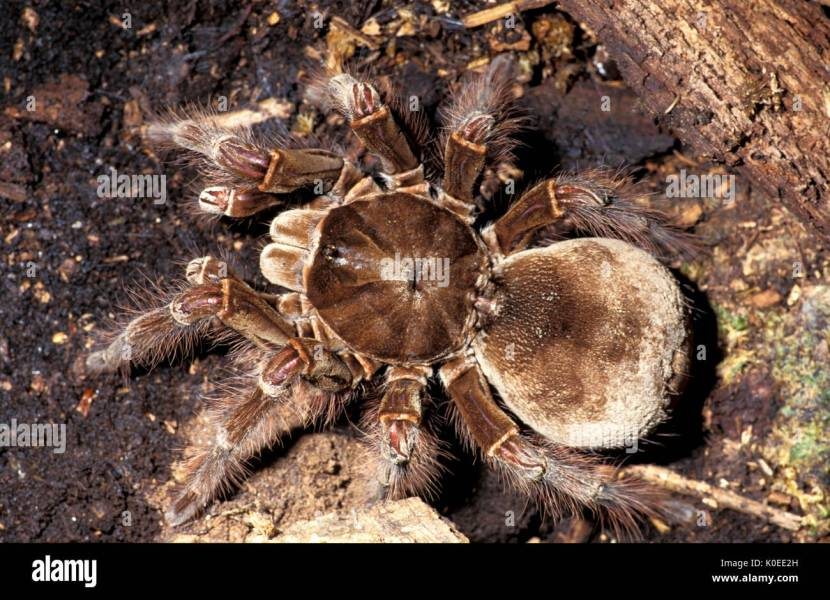 Goliath Bird Eating Spider Stock Photos   Goliath Bird Eating Spider     Goliath Bird Eating Spider  Theraphosa blondi  captive  close up showing  jointed legs