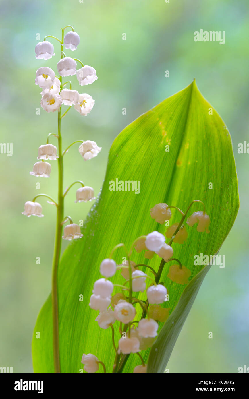 Flowers Easter Lilies Field Stock Photos   Flowers Easter Lilies     lilies of the valley flowers isolated in nature   Stock Image