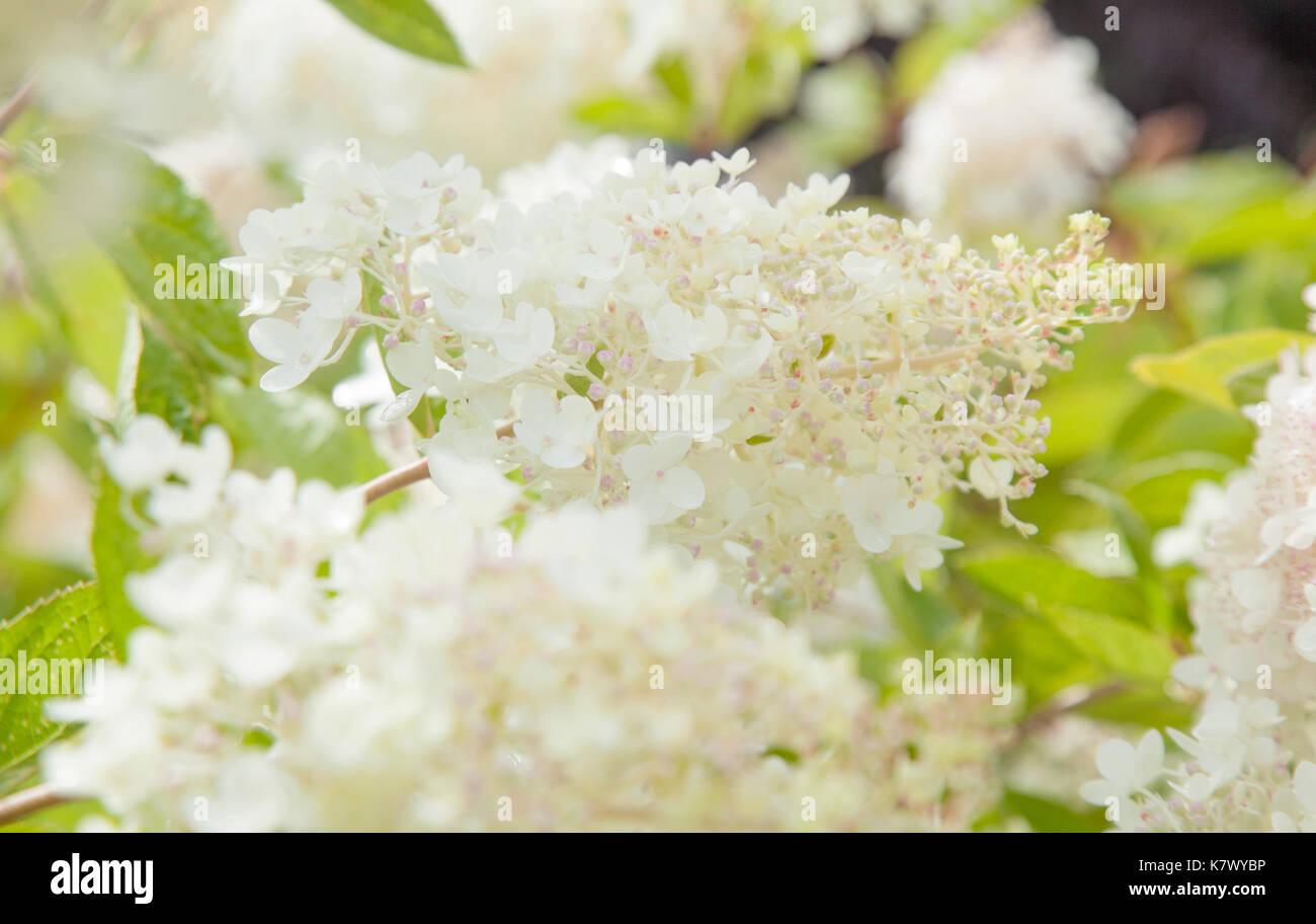 Hydrangea Paniculata Pink Beauty Stock Photos Hydrangea