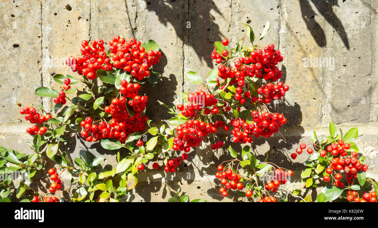 Berried Plants Stock Photos Berried Plants Stock Images Alamy