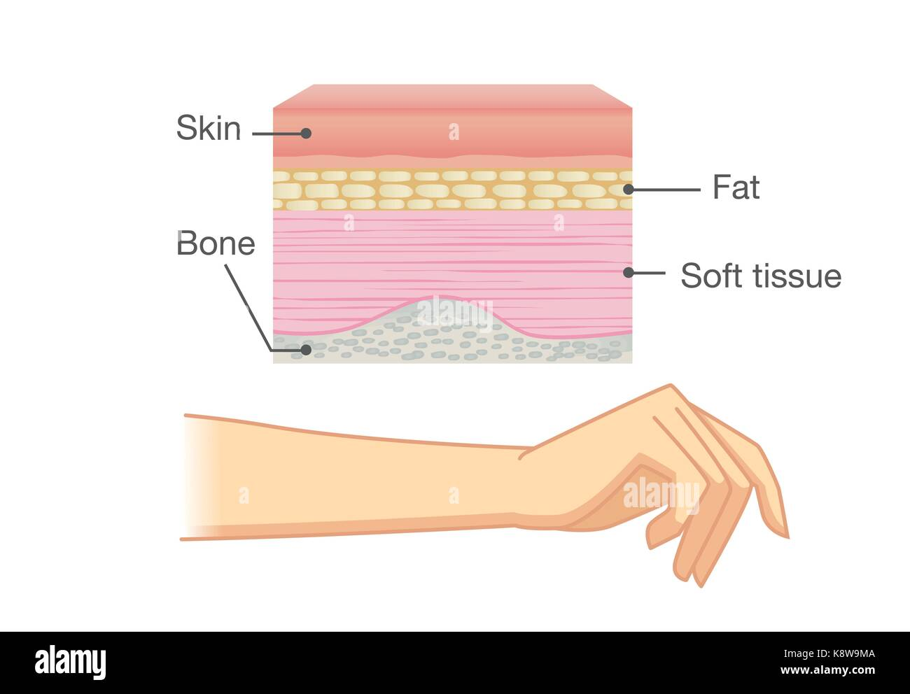 Integumentary System Unlabeled Diagram