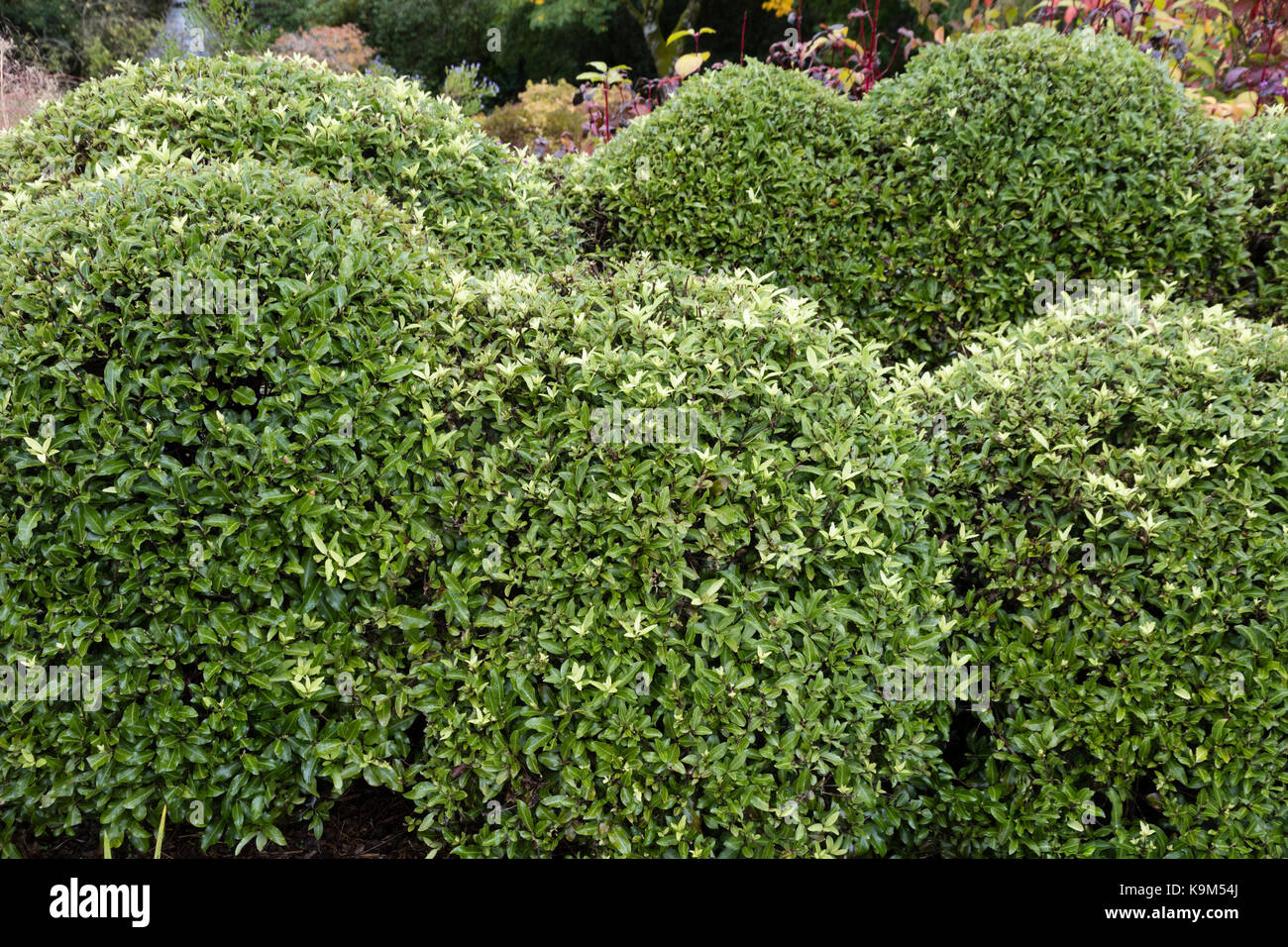 Pittosporum Plant Stock Photos Pittosporum Plant Stock Images