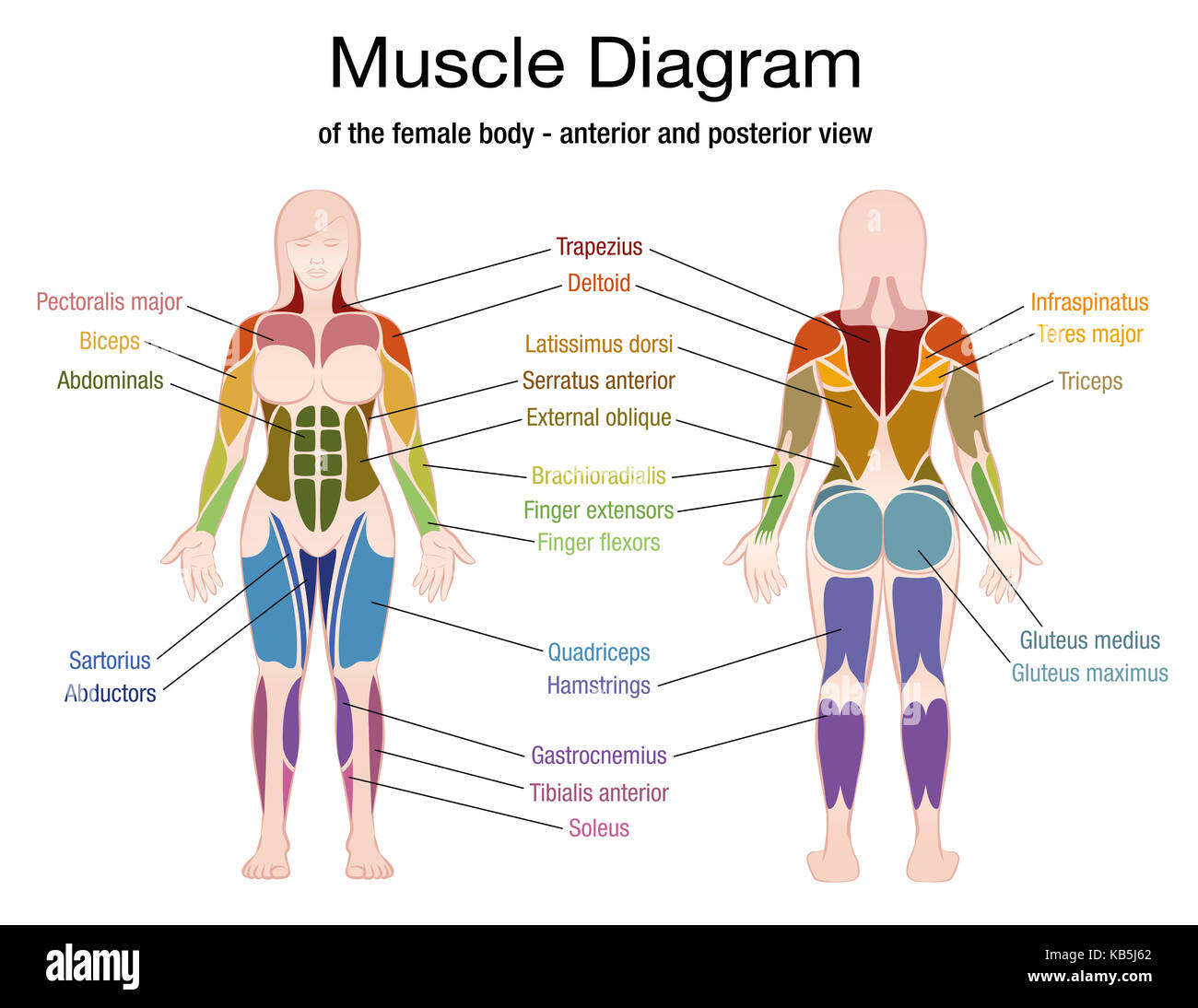 Major Muscles Worksheet