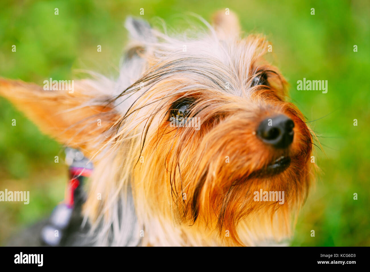 Boy Yorkshire Terrier Haircut